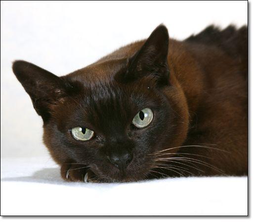 Photocat Co Uk Tonkinese Cat Cat Breeds Tonkinese