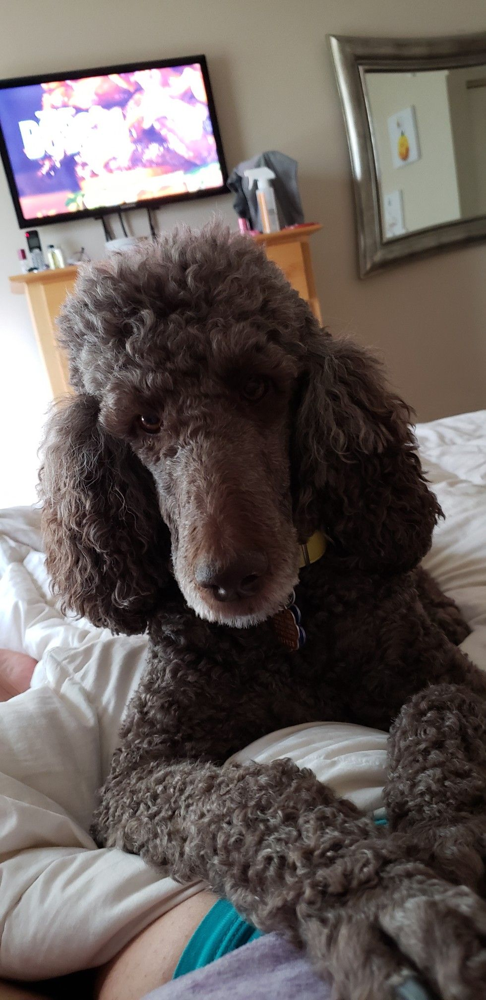 Sweetest face ever Standard poodle, Poodle, Furry friend