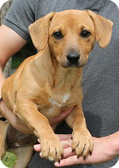 Pictures Of Charolette 24192 A Dachshund Mix For Adoption In