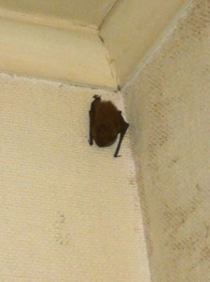 Catch A Bat In Your House Getting Rid Of Bats Bat Home Remedies