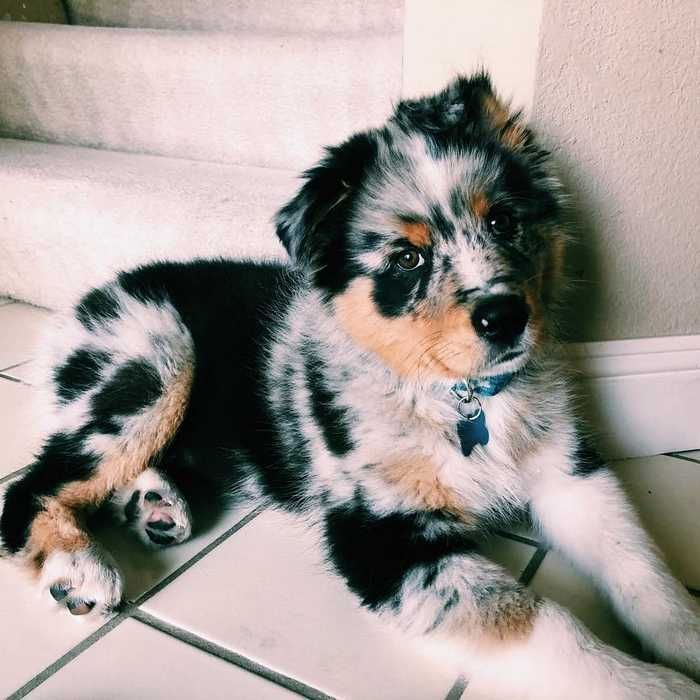 Australian Shepherd Dog Breed Information Popular Pictures Paw Paw Go In 2020 Cute Baby Animals Baby Animals Australian Shepherd Dogs