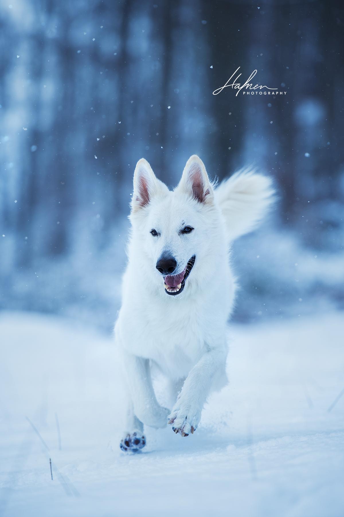 Weisser schweizer Schäferhund springt in Winterlandschaft