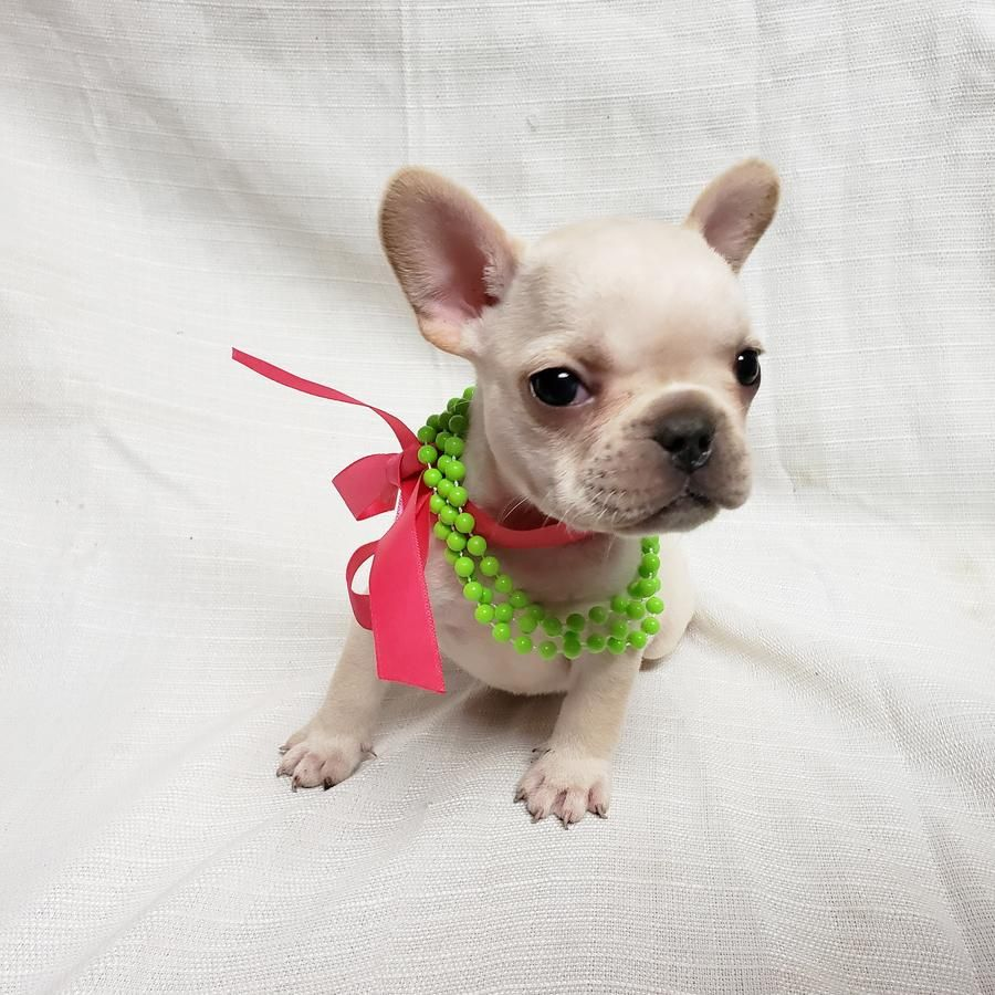 Romeo Cream Fawn Male Available Www Poeticfrenchbulldogs