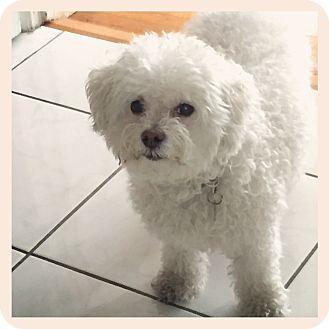 Milan Ny Poodle Miniature Maltese Mix Meet Nala A Dog For Adoption Http Www Adoptapet Com Pet 17020370 Milan Pets Miniature Poodle Miniature Maltese