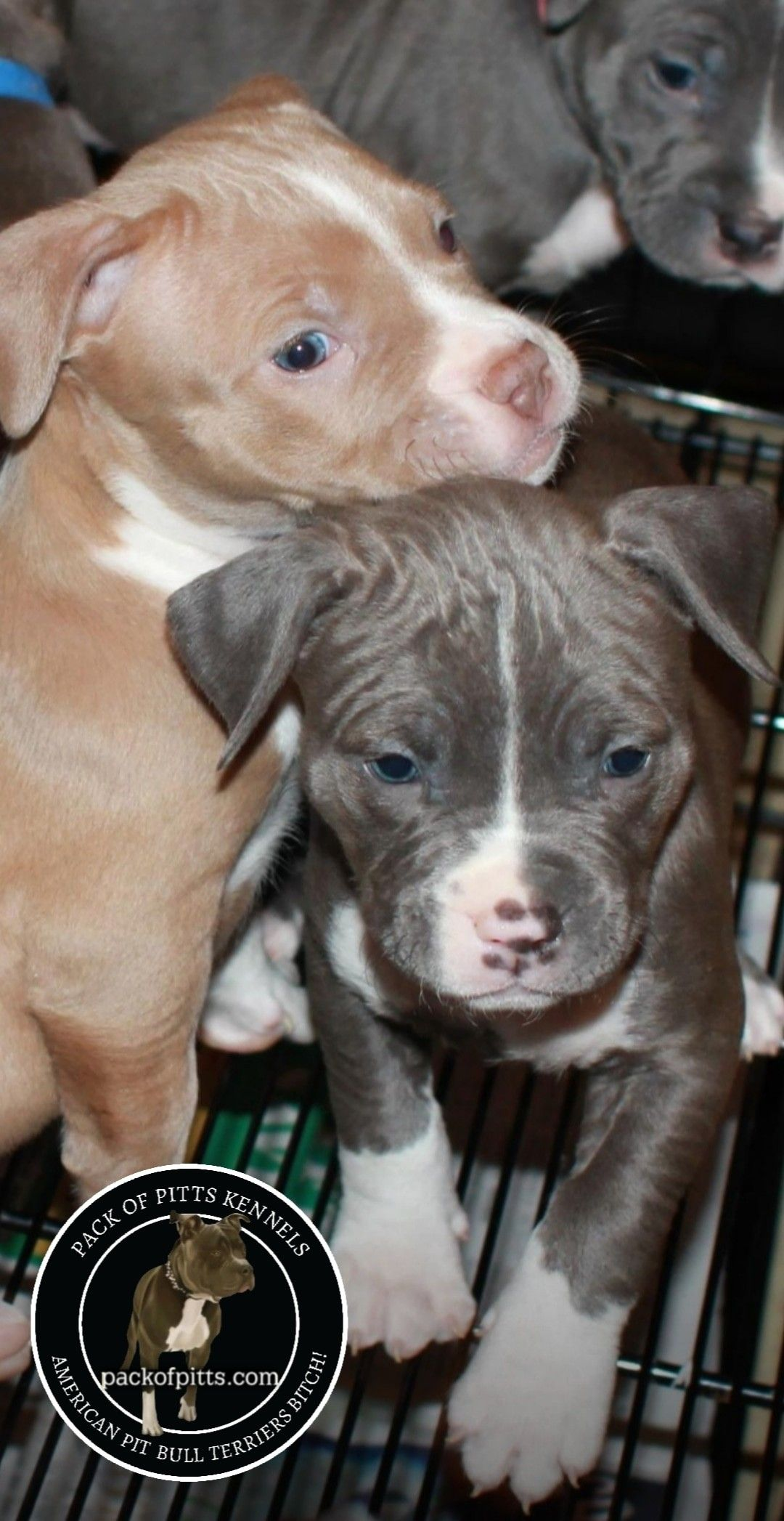 Lucky Lady Litter 2020 Puppies Pack Of Pitts Kennels Buffalo New
