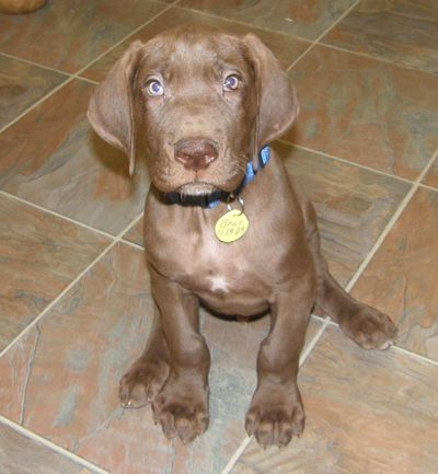 Chocolate Color Great Dane Puppy Great Dane Great Dane Funny