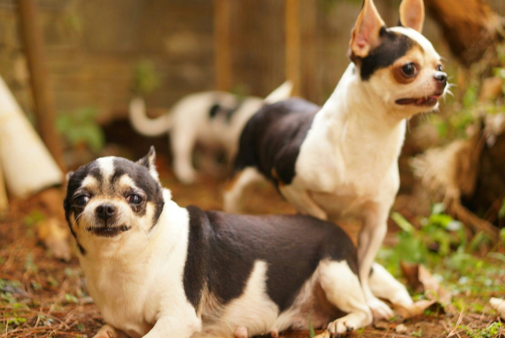 Rio Farm Buy Puppies Chihuahua Chihuahua Dogs