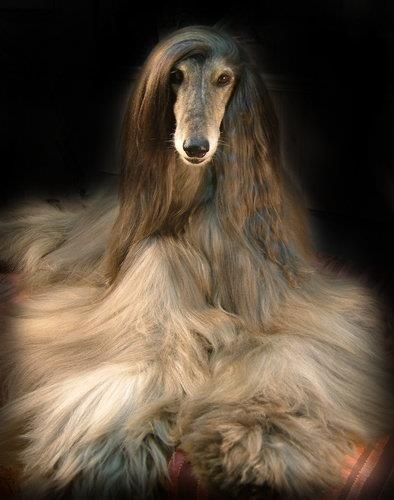 Afghan Hound what a gorgeous she is absolutely, fashionista of the dogs chain.
