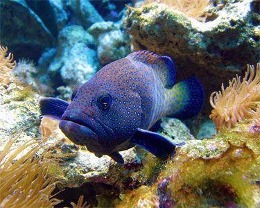 Blue Dot Grouper,(Cephalopholis argus)Species Profile, Blue Dot Grouper,(Cephalopholis argus)Hobbyist Guide, Blue Dot Grouper,(Cephalopholis argus)Care Instructions, Blue Dot Grouper care, Feeding and more.::Aquarium Domain.com