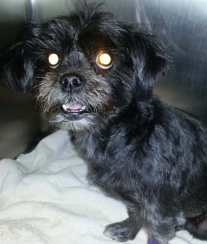 Meet Emma A Petfinder Adoptable Shih Tzu Dog Farmington Mn