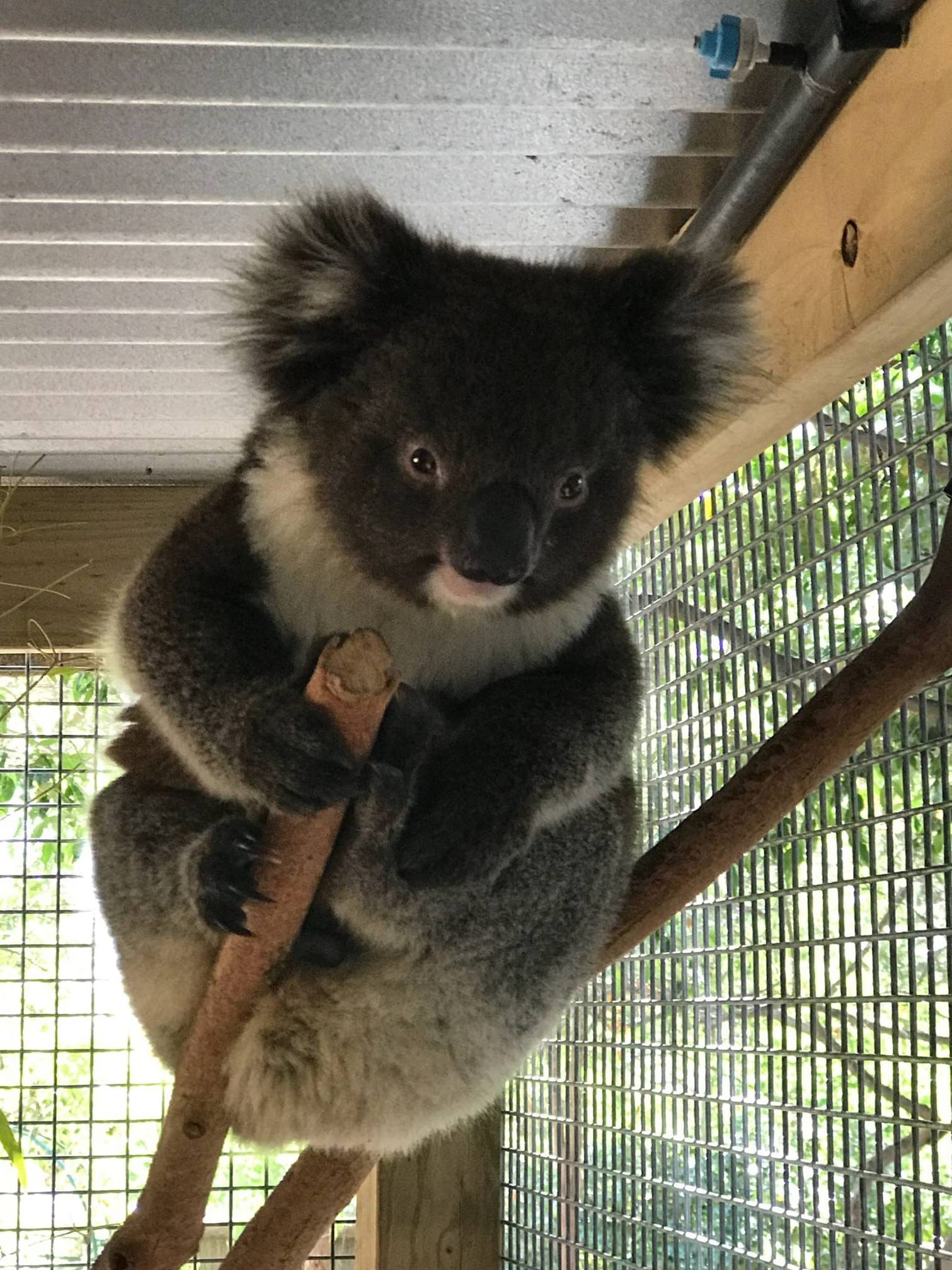 Pin Von Kimberly Parson Auf Koalas Tiere