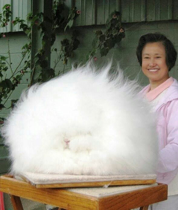 giant angora rabbit worlds largest and fluffiest bunny in the world