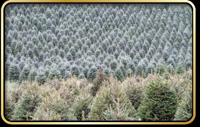 Grouse Ridge Christmas Tree Farms Grassy Creek Nc Christmas Tree Farm Tree Farms Christmas Tree