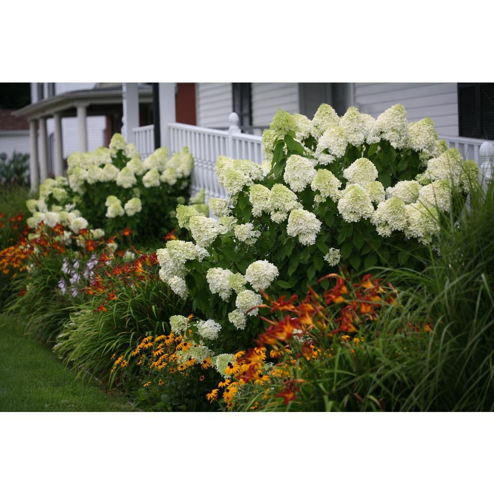 Proven Winners 1 Gal Limelight Hardy Hydrangea Paniculata Live Shrub Green To Pink Flowers Hydprc10 Hydrangea Landscaping Panicle Hydrangea Hardy Hydrangea