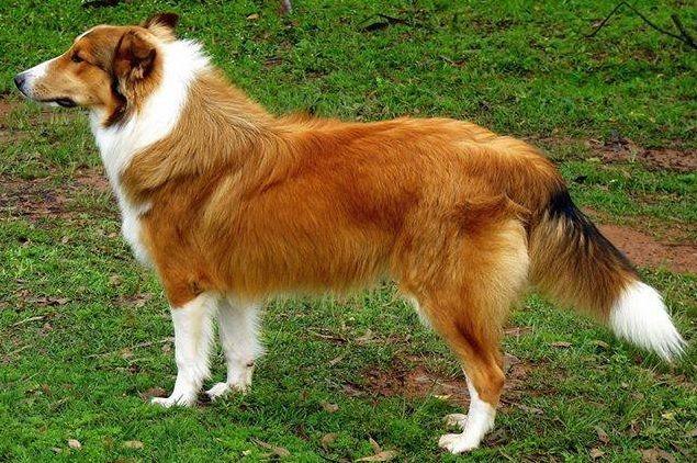 Ovelheiro Gaucho Minuano Australian Shepherd English Shepherd Welsh Sheepdog
