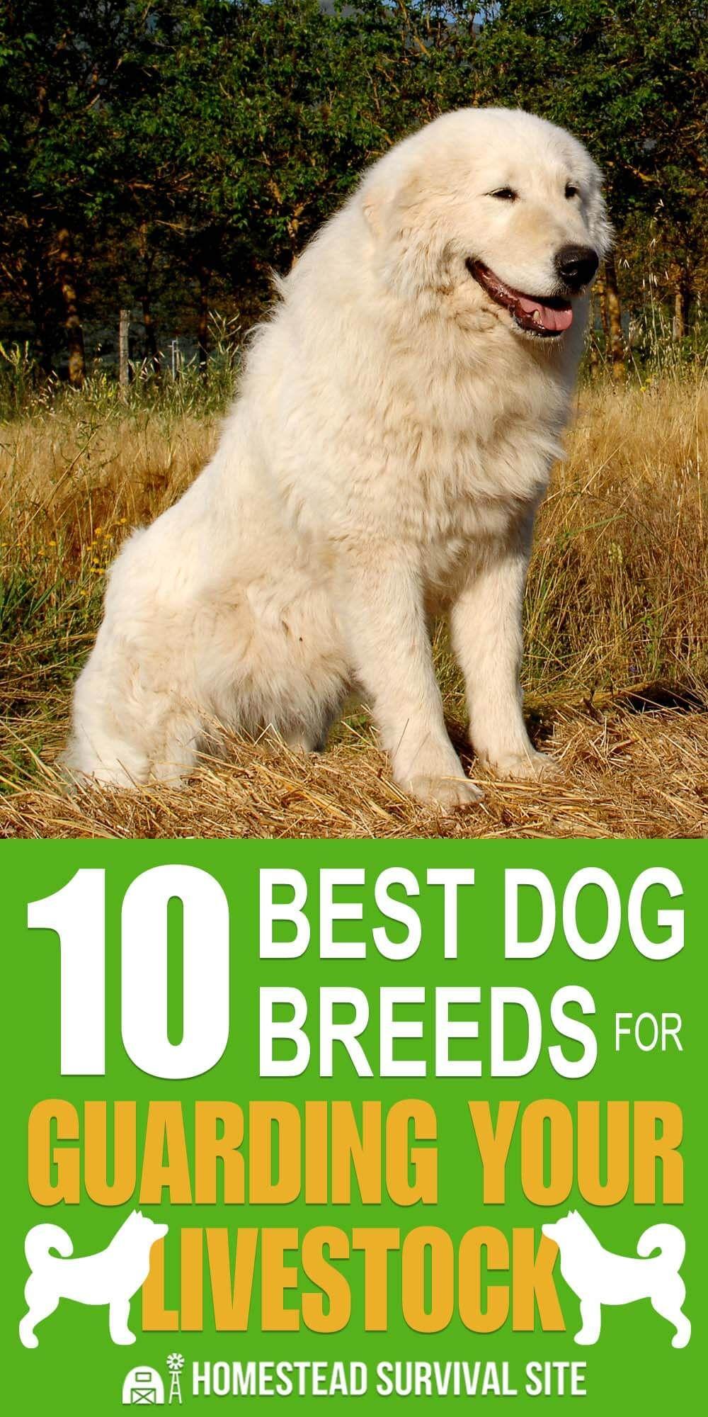 10 Best Dog Breeds For Guarding Your Livestock Best Dog Breeds