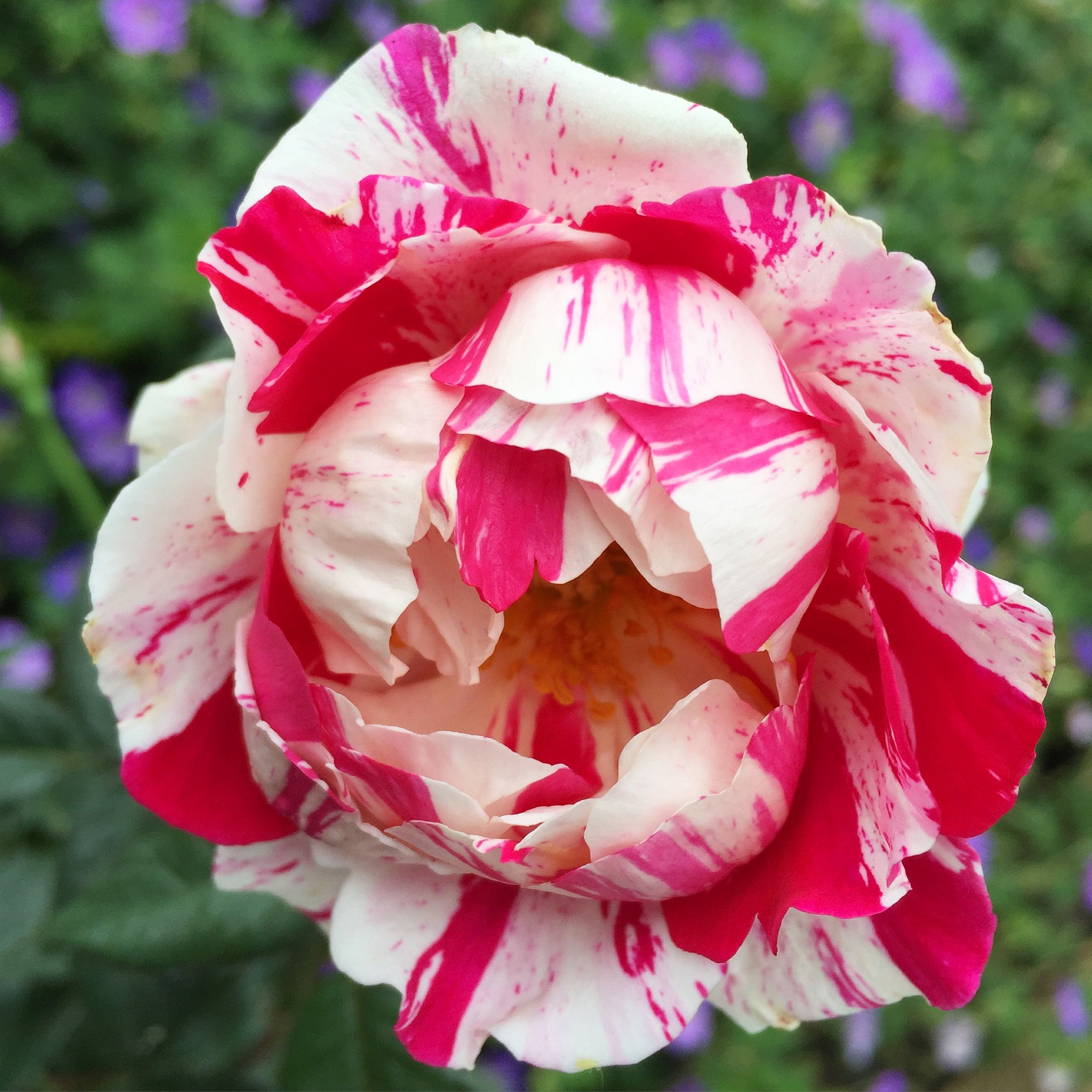 Stars N Stripes Forever Is A Slightly Spreading Shrub Rose Bush With Rich Deep