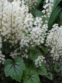 tiarella cordifolia 39 brandywine 39 schaumbl te garden. Black Bedroom Furniture Sets. Home Design Ideas