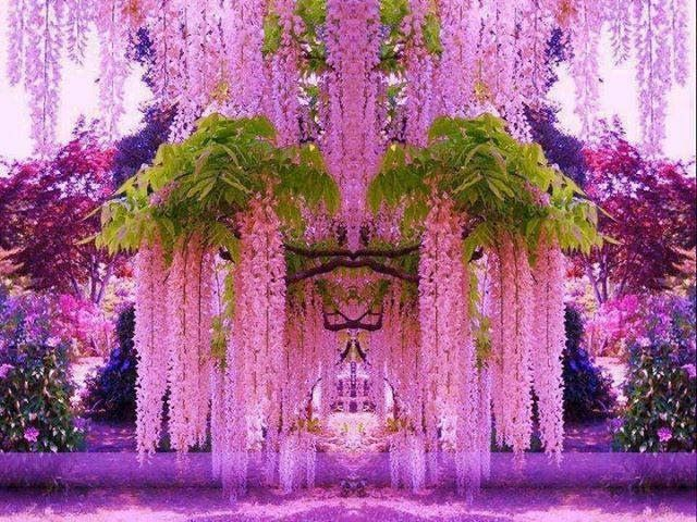 Purple Wisteria Cherry Blossom Tree In Japan Flowers Plants Purple Wisteria Wisteria Garden Beautiful Gardens