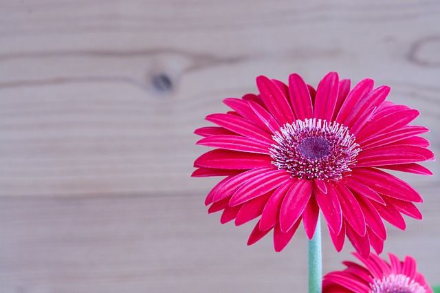 Free Image On Pixabay Gerbera Flower Blossom Bloom Good Morning Quotes Good Morning Inspiration Morning Quotes For Friends