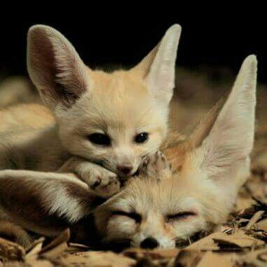 fennec fox foxes w stenfuchs f chse eng ger pinteres. Black Bedroom Furniture Sets. Home Design Ideas