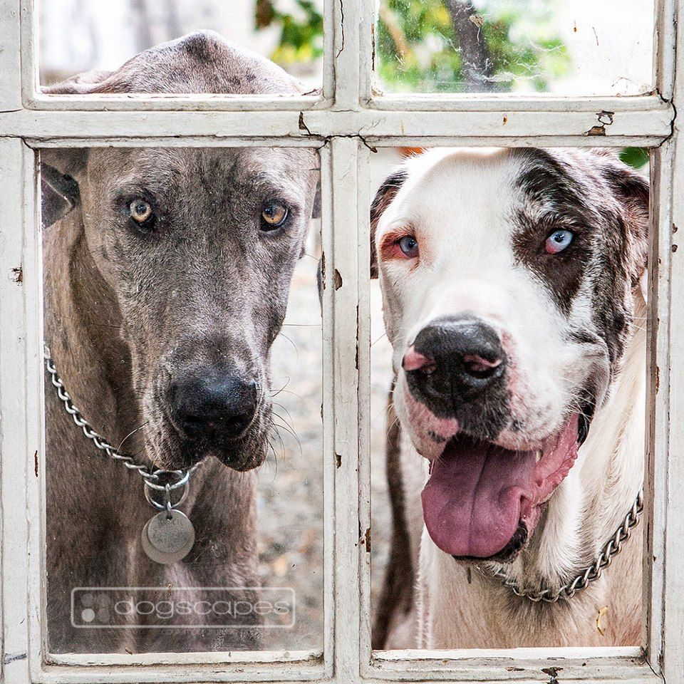 River And Sage Great Danes In Their Yard Dogscapes Com San