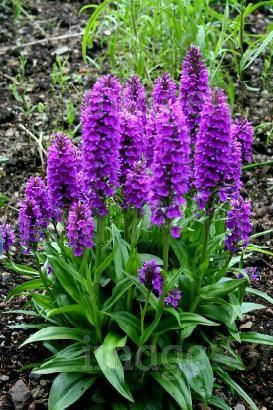 Common Purple Garden Flowers dactylorhiza foliosa purple flowers plants in summer | garden