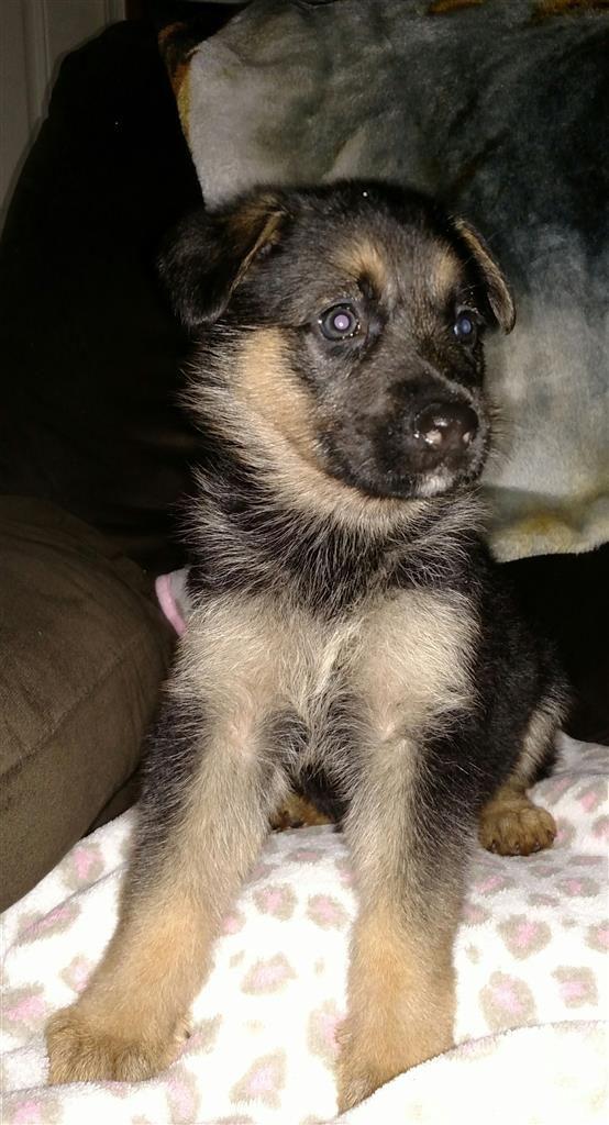 Lost Dog German Shepherd Purebred Orlando Fl United States