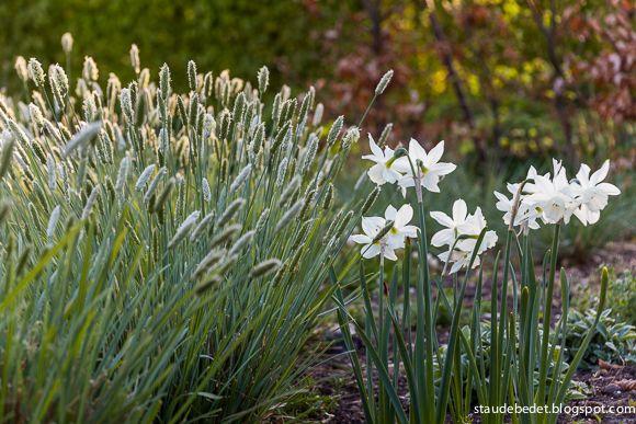 Sesleria nitida, Blåaks - 50-80 cm - blomstrer april - maj/ flower april - june