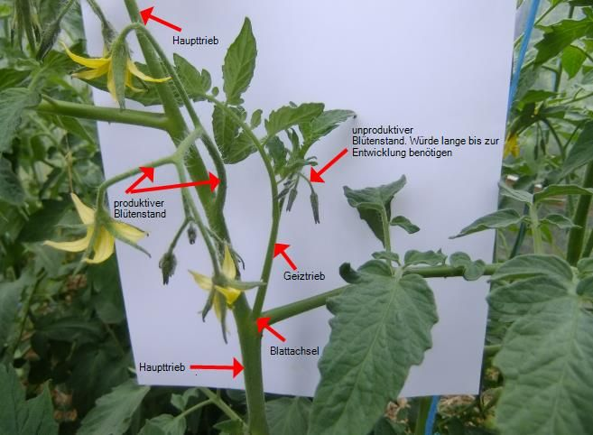 anleitung f r das ausgeizen von tomaten pflanzen pinterest. Black Bedroom Furniture Sets. Home Design Ideas