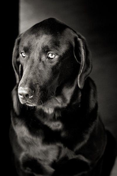 Thoughtful Black Lab Looks Like My Ginny Beautiful Beautiful Dogs Dog Love Dogs