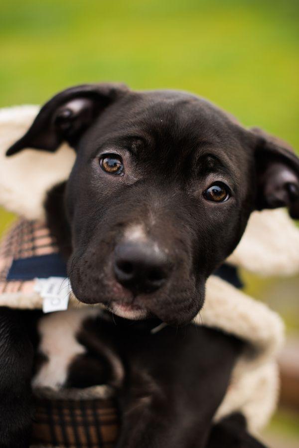 Puppy Love Jellybean The Labrador American Bully Cross Puppies