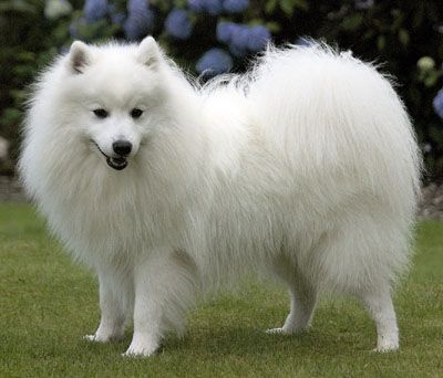 Must see German Spitz Canine Adorable Dog - 0e658f1630b1895a3f19131c135436b3  Graphic_444255  .jpg