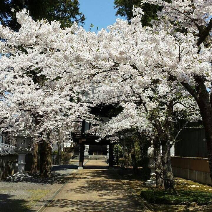 Japanese cherry tree   桜