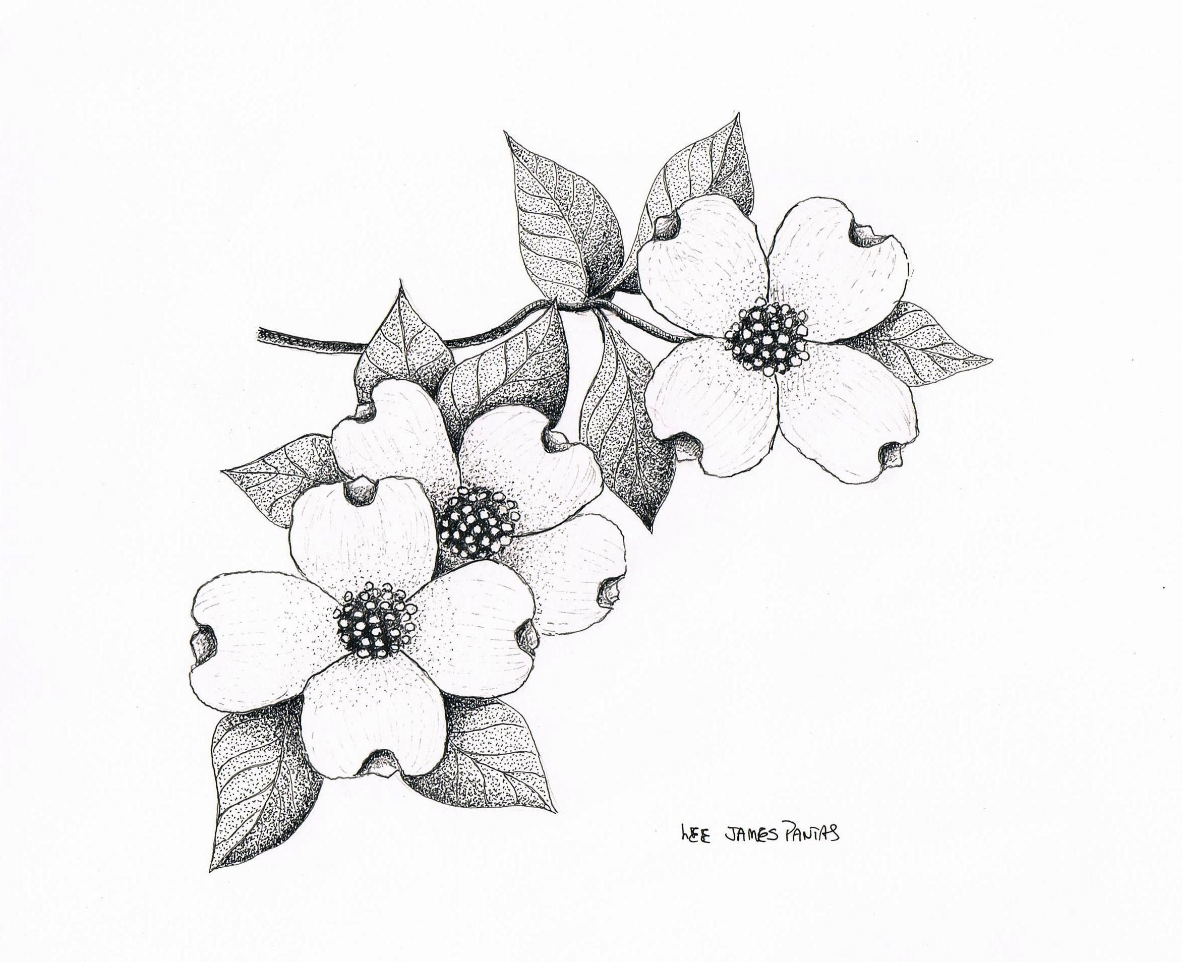 Dogwood Flower Line Drawing : Dogwood blossom clip art cliparts
