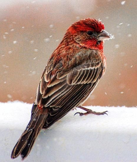 House Finch, we have one come to our front window box every year come spring