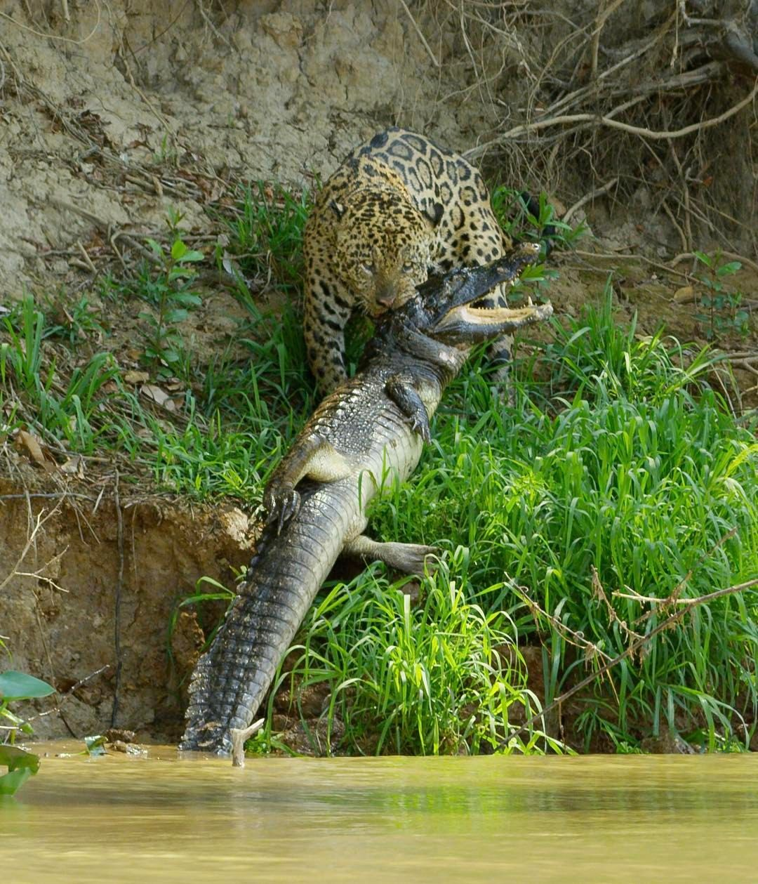 Meet scarface, a huge male jaguar who lives in Brazil's northern Pantanal.  He specialises in hunting caiman, South Ame… | Animals, Nature animals,  Animals beautiful