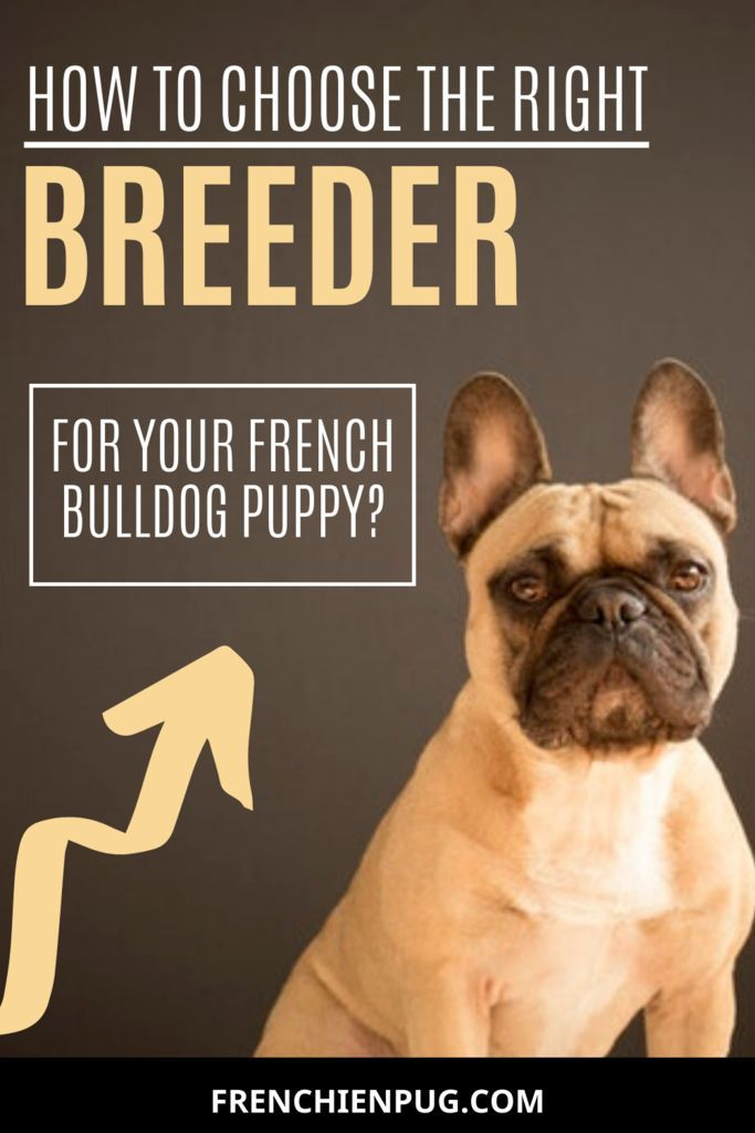 How To Choose The Right Breeder For Your French Bulldog Puppy