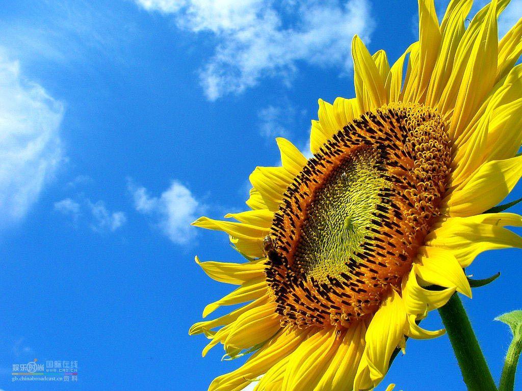 Free Wallpapers Sunflower Wallpaper Solar Energy Solar Energy Panels Sunflower