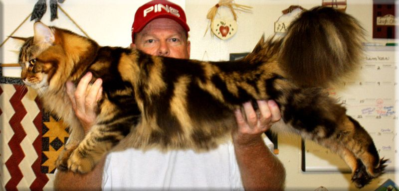 Pin On Maine Coon Patterns