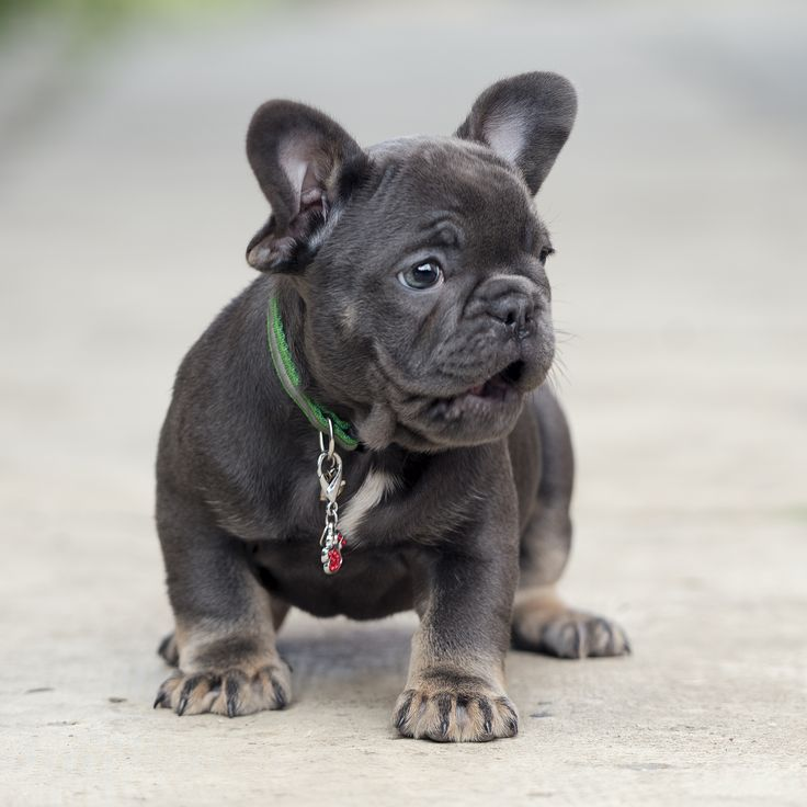 Pin By Frenchies And Pugs On Pug Puppies Ohio French Bulldog Dog French Bulldog Blue French Bulldog Puppies