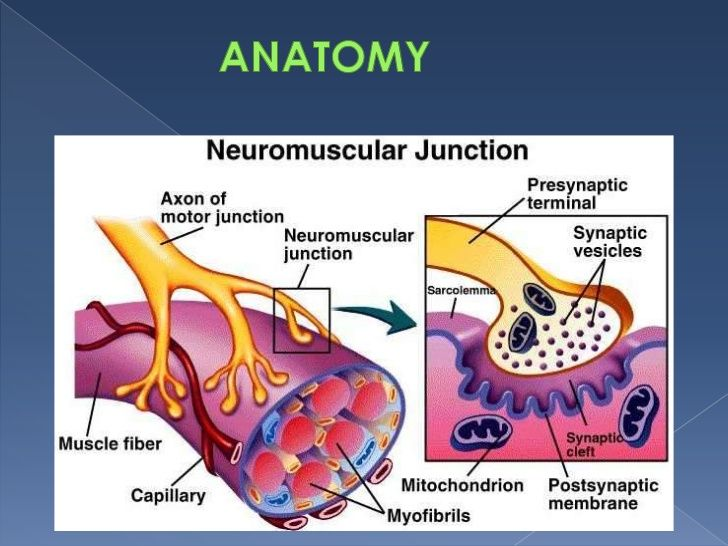 Neuromuscular Junction Google Search Neuromuscular Junction Neuromuscular Exercise Physiology