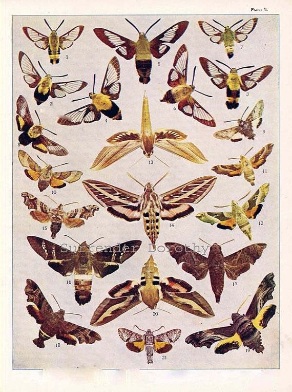 Related image Moth art print, Fauna illustration, Insect