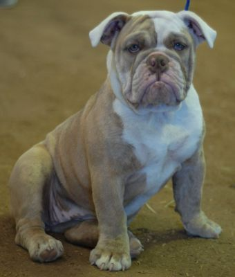 Olde English Bulldogge Colors With Images English Bulldog