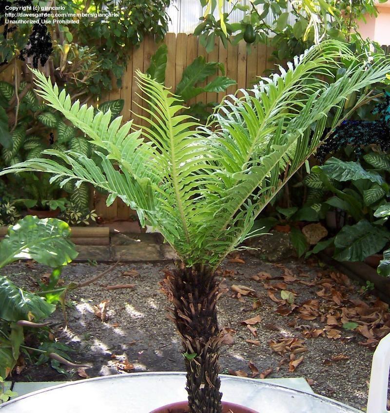 Full Size Picture Of Dwarf Tree Fern Silver Lady Fern Blechnum Gibbum Dwarf Trees Garden Plants Design Ferns Garden