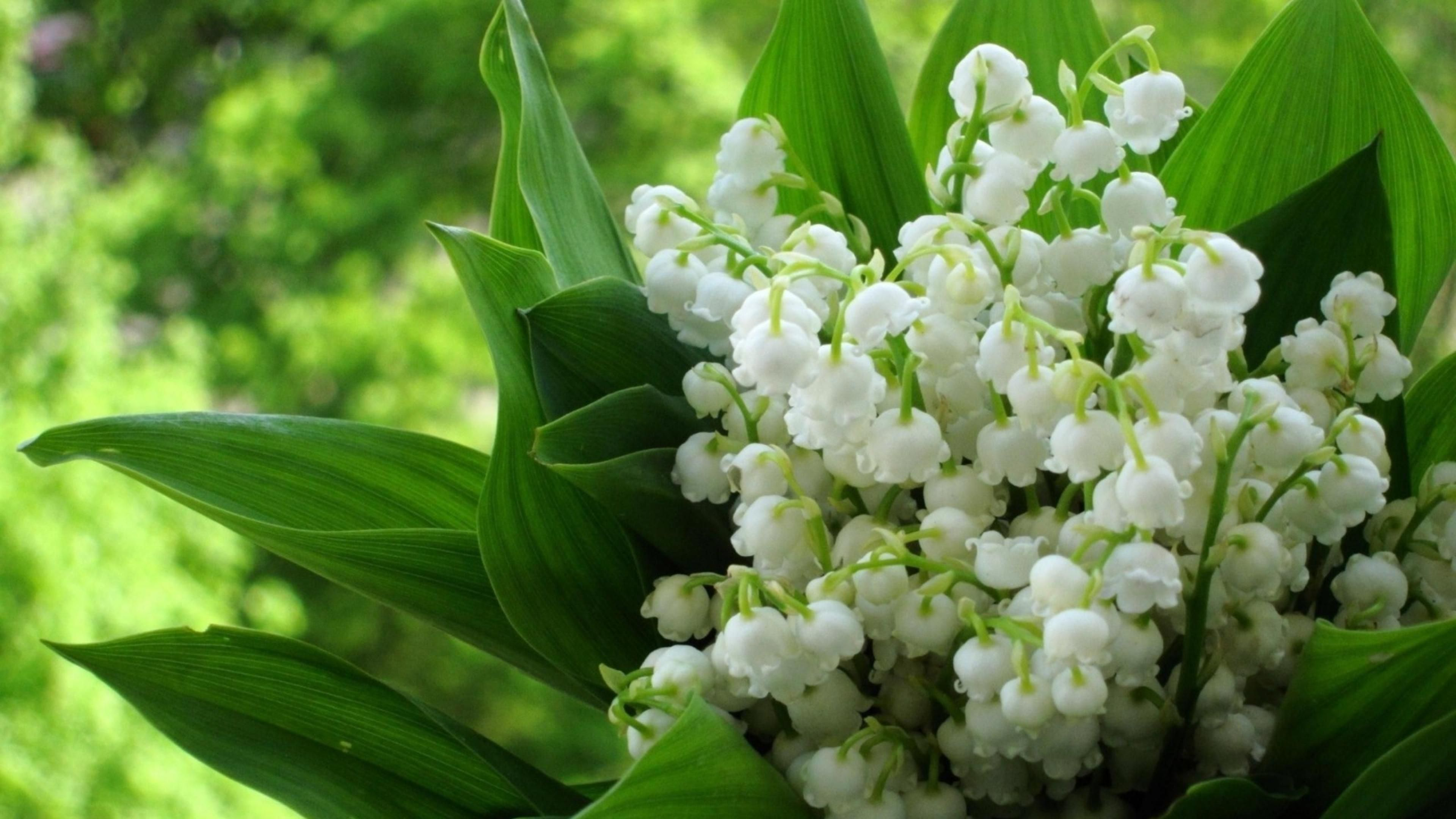 of Flowers Lily the Lily of the valley valley HD ...