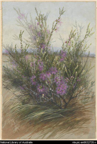 Rowan, Ellis, 1848-1922. Melaleuca thymifolia, ca. 1885 [picture]