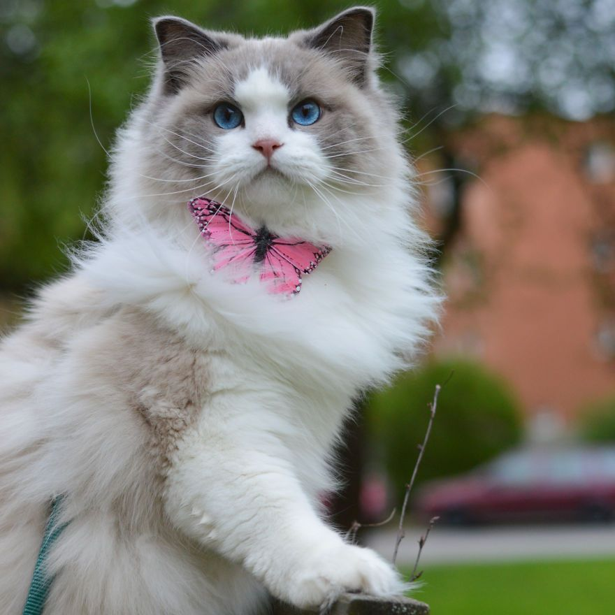 Princess Aurora A Photogenic Cat Royalty Cute Cats Photos Pretty Cats Beautiful Cats