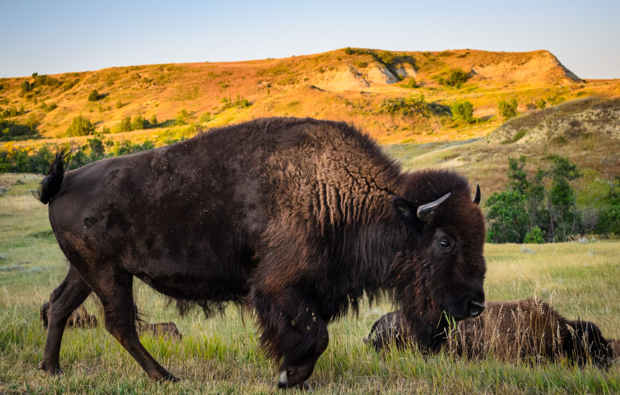 Buffalo On Prairie Thinkstock