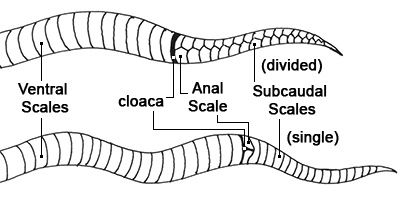 Venomous Vs Non Venomous Snakes What S The Difference Snake Venom Milk Snake Snake